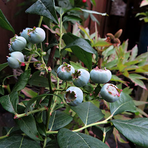 Blauwe bessen uit eigen tuin.