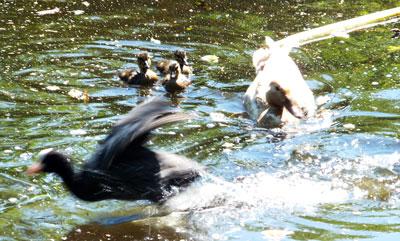 Moeder eend jaagt moeder meerkoet weg