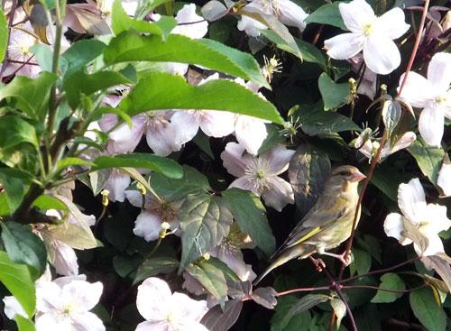 Prachtig, de vrouwtjes groenling tussen de roze bloemen van de clematis montana rubens