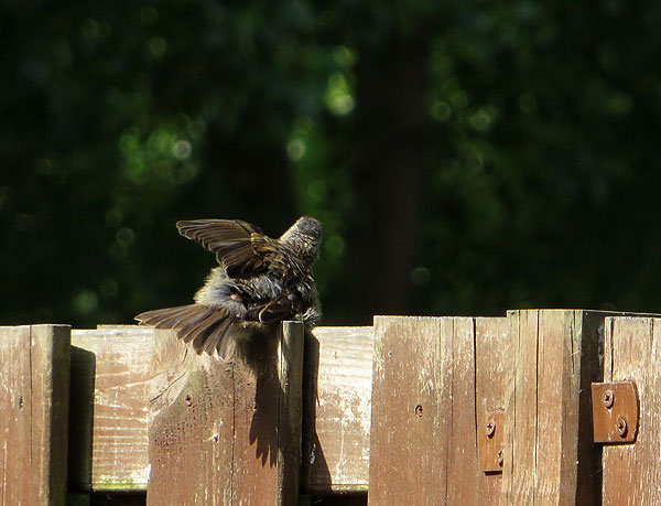Jonge heggenmus spreidt vleugels ter afkoeling