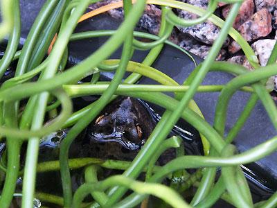 De kikker kan zo uren achtereen stil in het water blijven hangen
