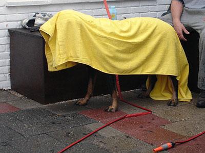 De hond wordt na een flinke douche, stevig afgedroogd met de gele baddoek