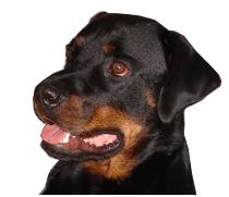 Max de rottweiler, hond van de buren