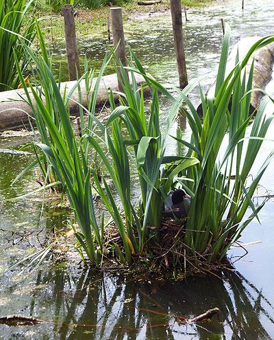Meerkoet op nest - prachtige kraamkamer
