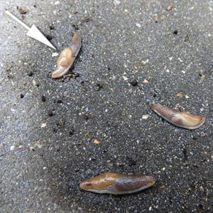 Bijna verdronken naaktslak blijkt nog te leven