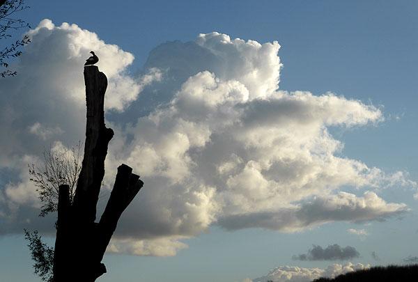 Nijlgans hoog in de boom aan de Sloterplas