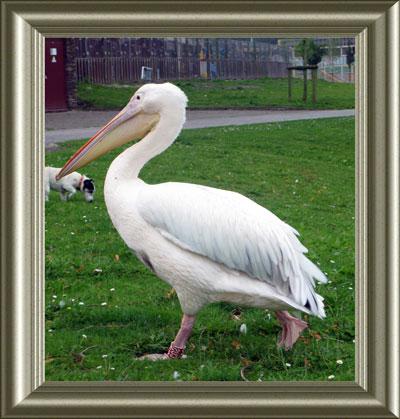 De uit Artis ontsnapte pelikaan, die haar draai aan de Sloterplas gevonden leek te hebben, is in Duitsland om het leven gekomen