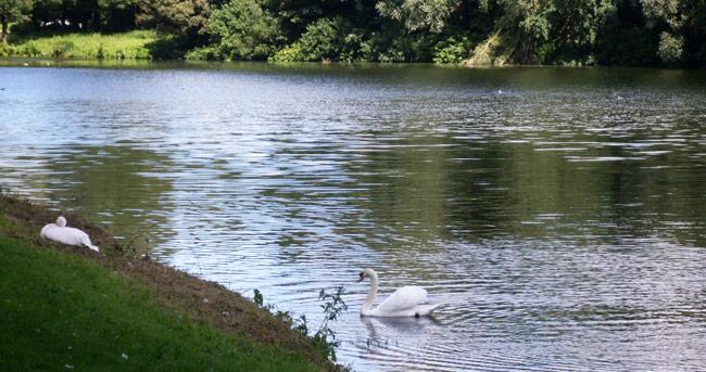 Zwaan nadert pelikaan - Sloterpark/Sloterplas