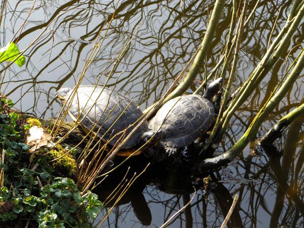 De roodwangschildpadden in Heemtuin Sloterpark genieten van het lentezonnetje.