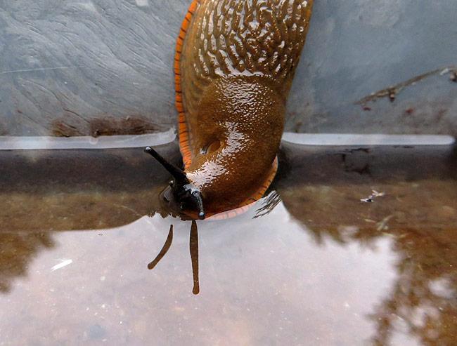 Slak drinkt uit het drinkbakje van de vogels