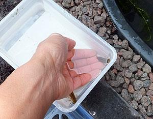 De libellenlarven kunnen de vijver weer in.