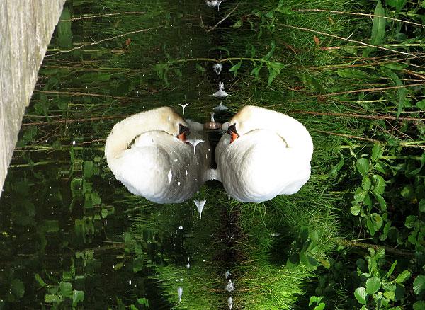 Zwaan met spiegelbeeld