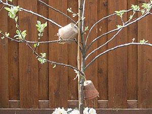 Twee bloempotjes met stro en oorkruipers in de appelboom