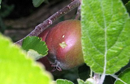 Verboden vrucht - de appel waar niet van gegeten mocht worden; Eva deed het toch...