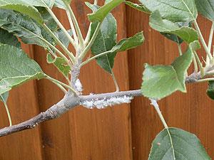 mysterieus sneeuwachtig goedje op de takken van de appelboom