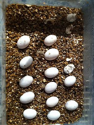 Eieren van de leatherback baardagaam