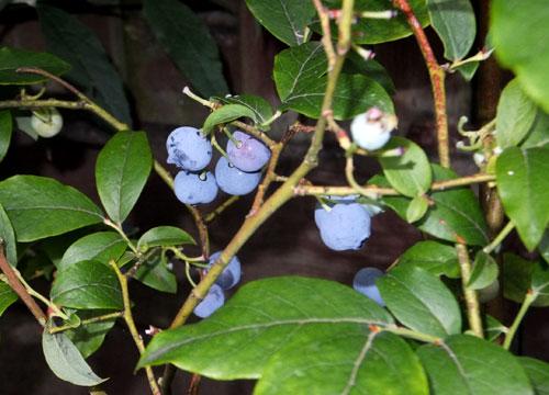 Blauwe bessen in de tuin