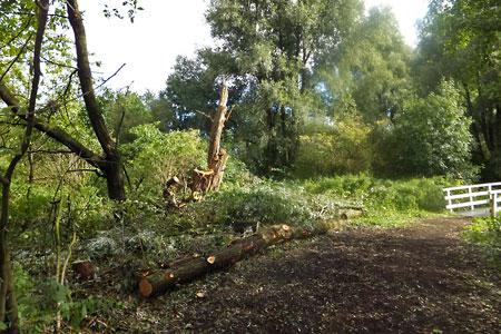 Omgevallen boom Ruige Riet geruimd