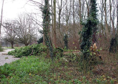 De met klimop begroeide boom door een fikse storm in horizontale stand