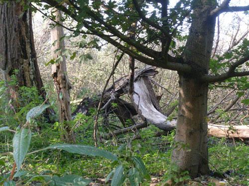 Omgevallen boom in het Ruige Riet
