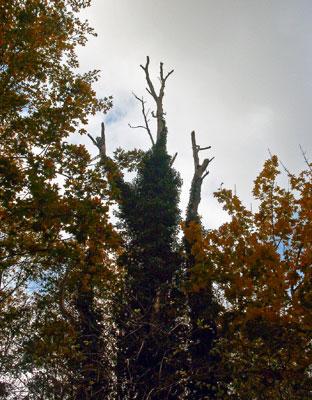 Boom met klimop begroeid in verticale stand (zoals het hoort)