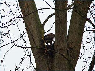Buizerd op nest