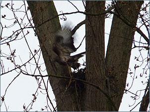 Buizerd vliegt weg van nest