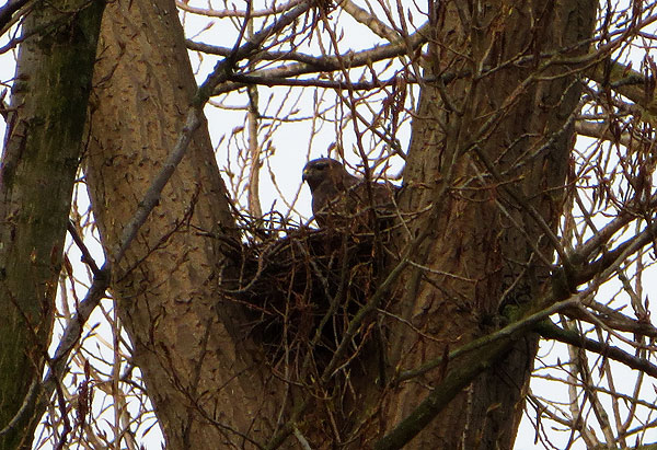 Buizerd op 't nest