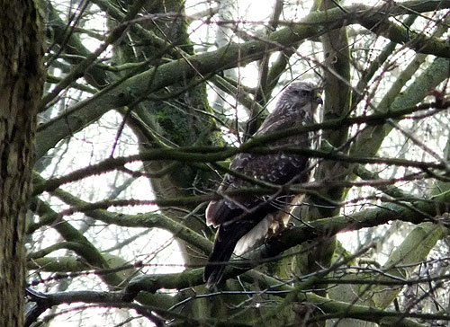Buizerd in Sloterpark