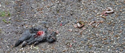 Dood konijn. Door een hond gegrepen?