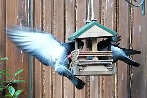 Koppige duiven terroriseren eethuisje