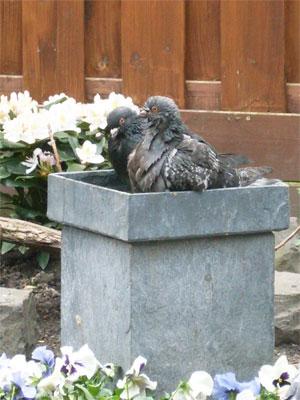 Twee duiven samen in bad