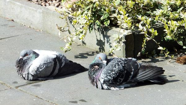 Chillende duiven na een verfrissend badje.