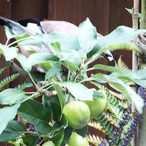 Criminele Vlaamse gaai snoept van appel