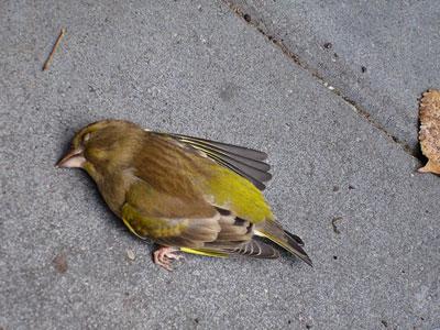 Groenling dood; tegen het raam gebotst (raamslachtoffer)