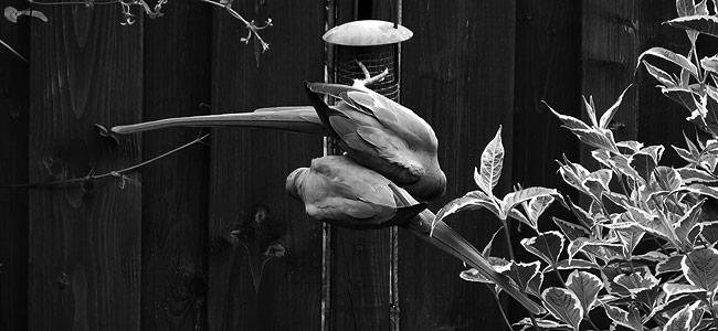 Halsbandparkieten genieten van hun diner voor twee.