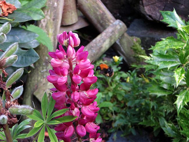 Een hommel bij de lupine: blij met de bijvriendelijke beplanting in de tuin