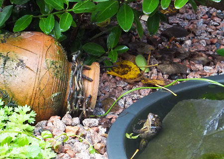 Een bruine kikker in onze mini vijver