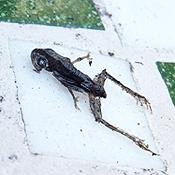 Kikkertje dood en uitgedroogd of... een prehistorische vondst?