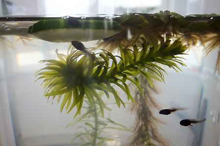 Kikkervisjes eten komkommer. Ze vinden het heerlijk!