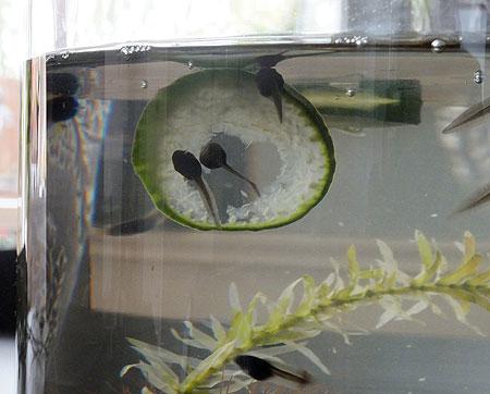 Kikkervisjes vormen hartje met komkommer.
