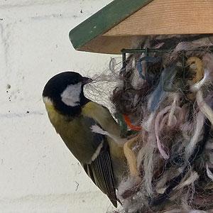 Koolmees plukt van het nestmateriaal.
