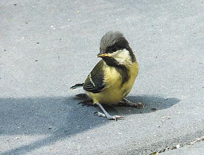 Jong koolmeesje kwam bij het uitvliegen nét wat kracht tekort. Hij deed een zenuwachtig poepje en daarna lukte het vliegen wel.