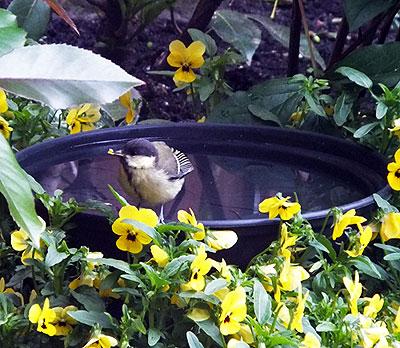 Jonge koolmees plukt een viooltje en zeg 't met bloemen