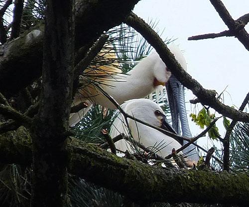 Lepelaars op het nest, hoog in de bekende 'reigerbomen' in het Sloterpark.