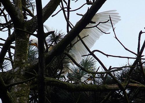 Lepelaar vliegt net van het nest weg.