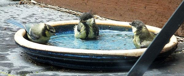 Gefladder & gebadder - Drie jonge meesjes in bad (links de pimpel)