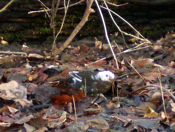 Blaarkop: merel met witte kop (leucistische merel)