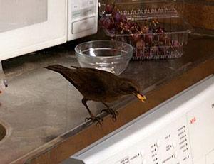 Vrouwtjes merel vindt eten in de keuken
