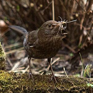 Moeder merel druk met nest
